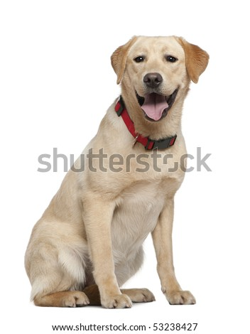 Labrador retriever, 11 months old, sitting in front of white background - stock photo