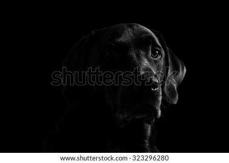 Labrador Retriever on black background