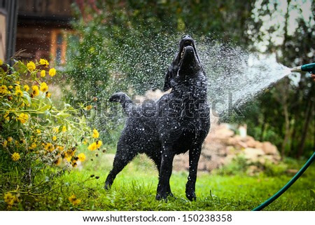 labrador retriever on nature - stock photo