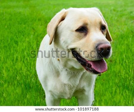 Labrador retriever portrait against green grass - stock photo