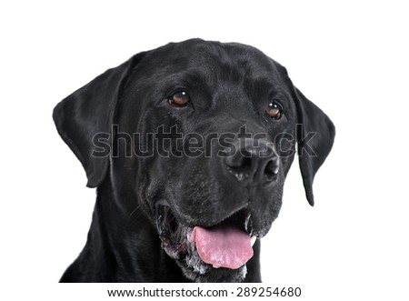labrador retriever portrait in white studio