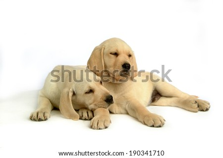 Labrador retriever puppies isolated over white background - stock photo