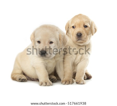 Labrador Retriever puppies isolated over white background