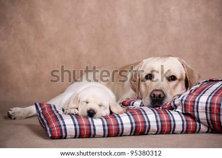labrador retriever puppy and mum - stock photo