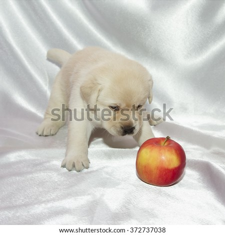 Labrador retriever puppy and red apple