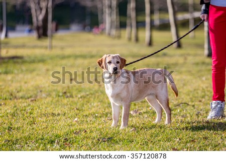 Pug Running On Dog Walk Agility Stock Photo 404204536