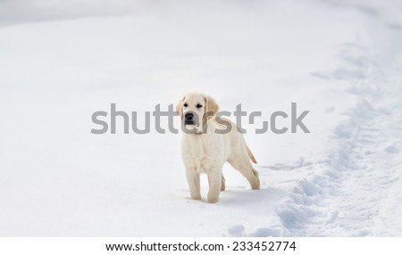Labrador retriever puppy dog playing in snow in the winter outdoors - stock photo