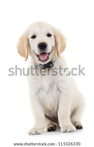 Labrador Retriever puppy dog sitting and looking at the camera while panting. Isolated on white - stock photo