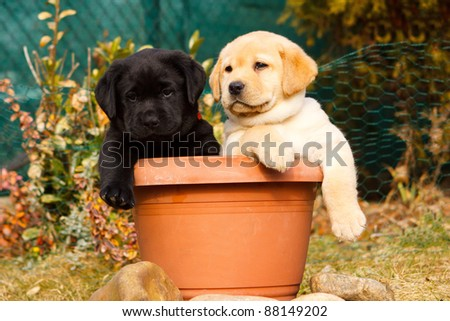 Labrador retriever puppy in flowerpot - stock photo