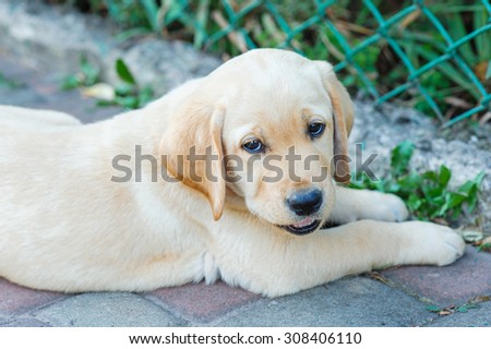 Labrador retriever puppy in the yard.