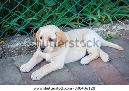 Labrador retriever puppy in the yard. - stock photo