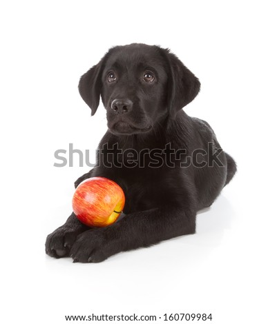 Labrador Retriever Puppy isolated on white - stock photo