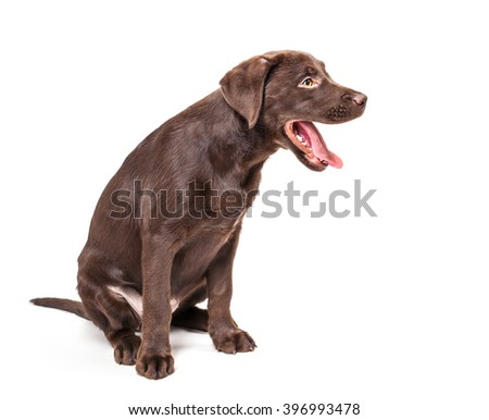 Labrador Retriever puppy isolated on white background