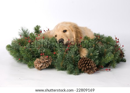 Labrador Retriever Puppy Laying in Wreath - stock photo