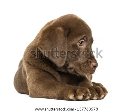 Labrador Retriever Puppy lying and looking down, 2 months old, isolated on white