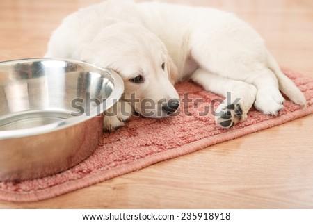 labrador retriever puppy lying down near empty feeding bowl - stock photo