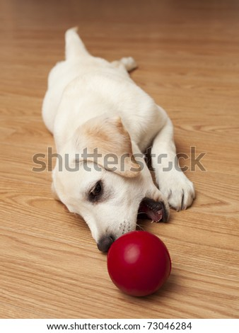 Labrador retriever puppy lying on the floor and playing with a red ball - stock photo