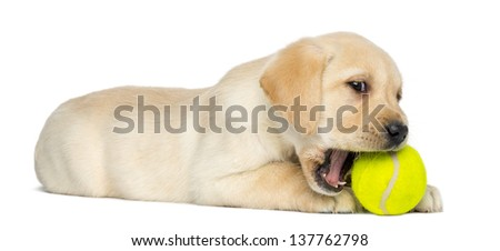 Labrador Retriever Puppy, 2 months old, lying and chewing a tennis ball, isolated on white - stock photo