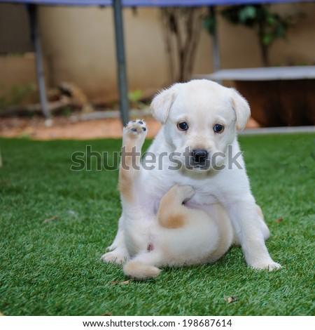 labrador retriever puppy playing on green grass - stock photo