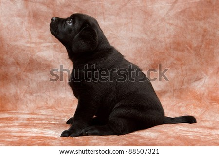 Labrador retriever puppy siting - stock photo