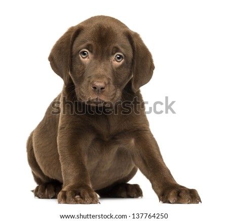 Labrador Retriever Puppy sitting and facing, 2 months old, isolated on white - stock photo