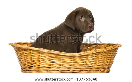 Labrador Retriever Puppy sitting in a wicker basket, 2 months old, isolated on white - stock photo