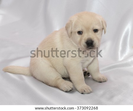 Labrador retriever puppy. Sitting, side view.