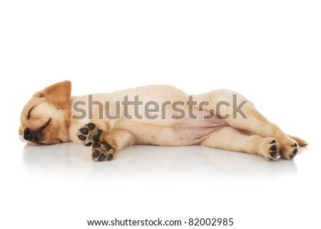 labrador retriever puppy sleeping on a white background - stock photo