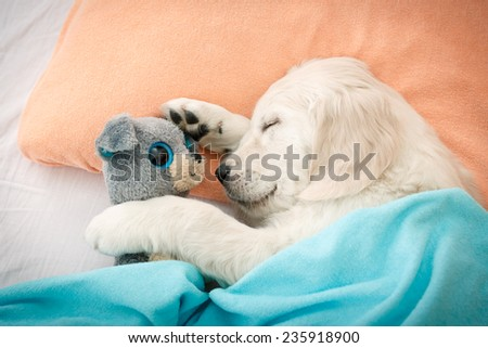 labrador retriever puppy sleeping with toy on the bed - stock photo