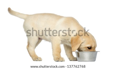 Labrador Retriever Puppy standing and eating from his dog bowl, 2 months old, isolated on white - stock photo
