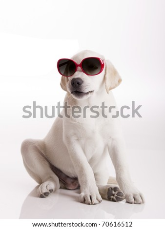 Labrador retriever puppy wearing sunglasses, isolated on white