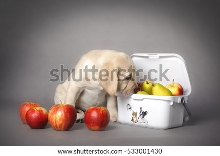 Labrador retriever puppy with fruits on grey background