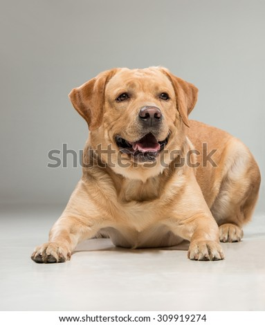Labrador retriever sitting in front of gray background
