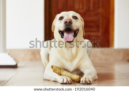 Labrador retriever with bone is waiting at home. - stock photo