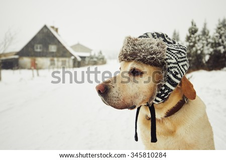 Labrador retriever with cap on his head in winter  - stock photo