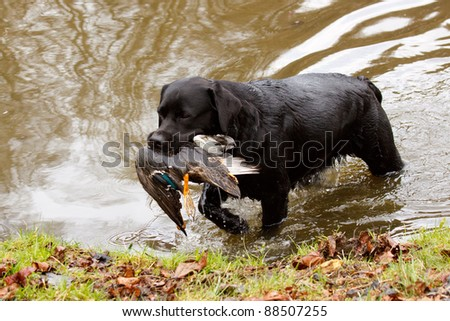 Labrador retriever with duck - stock photo