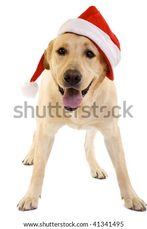 labrador retriever with red Santa Claus hat on white background. - stock photo