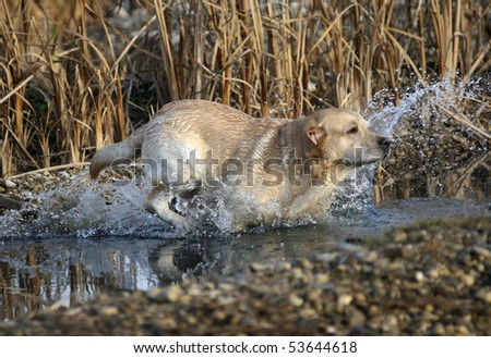 Labrador Retriever working in the field, jumping in the water