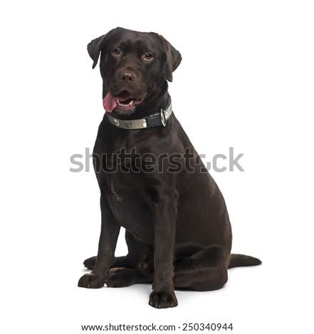 Labrador Retriever (1 year old) - stock photo