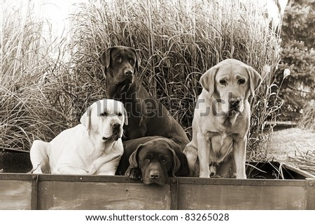 Labrador Retrievers - stock photo