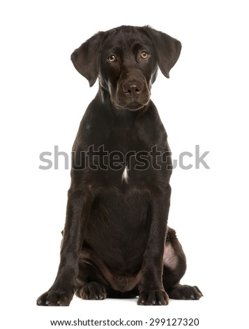 Labrador sitting in front of a white background - stock photo