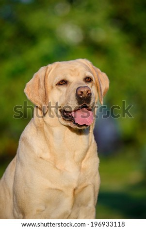 Labrador summer - stock photo