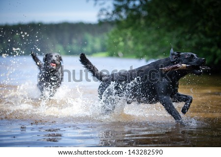 Labrador swimming in the water - stock photo