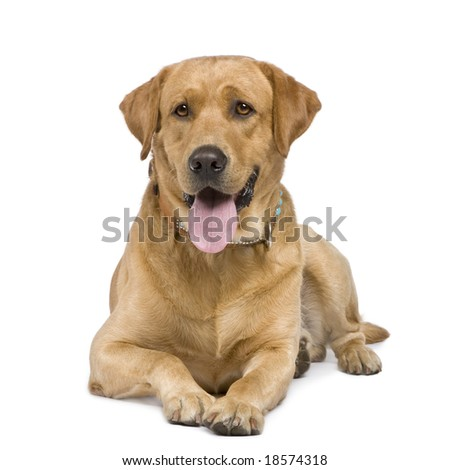 Labrador (3 years) in front of a white background - stock photo