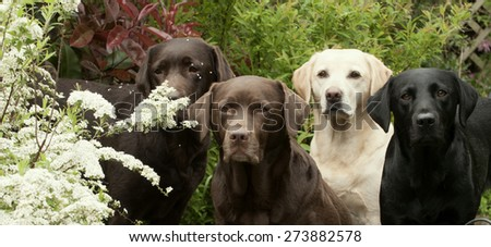 Labradors in the blossom - stock photo