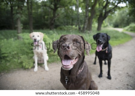 Labradors in the park - stock photo