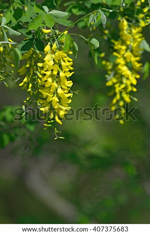 Laburnum anagyroides yellow flowers hanging in the air