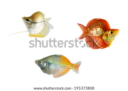 Lace gourami (Trichopodus leerii) fish, melanotaenia boesemani male fish isolated on white background - stock photo