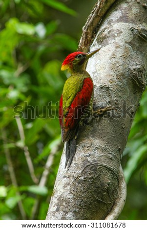 Laced Woodpecker (Picus vittatus) on the tree in forest - stock photo