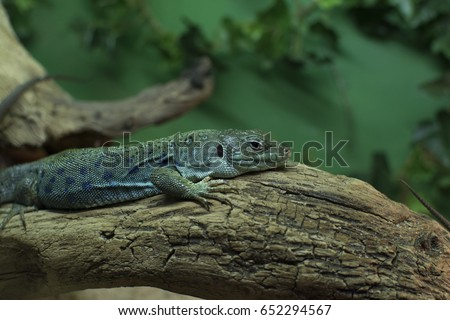 Lacerta Bilineata sitting on a branch